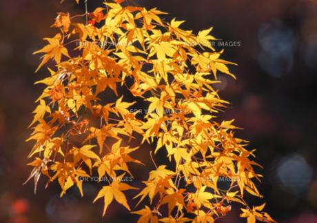 黄色い紅葉の写真素材 [FYI00257340]