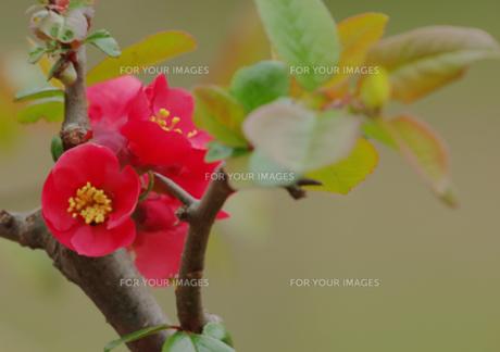 赤いボケの花の写真素材 [FYI00257342]