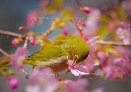 河津桜とメジロの写真素材 [FYI00257359]