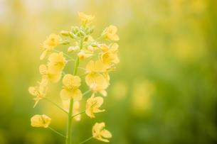 黄色の花の写真素材 [FYI00257384]