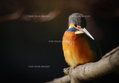 獲物を狙うカワセミの写真素材 [FYI00257390]