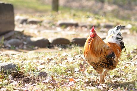 鶏_3の写真素材 [FYI00257393]