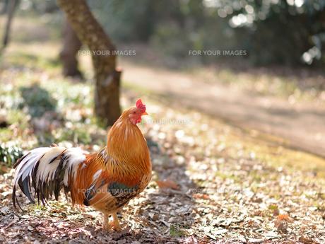 鶏_2の写真素材 [FYI00257408]