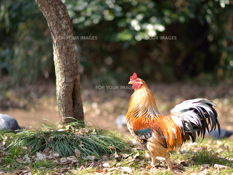 鶏_1の写真素材 [FYI00257424]