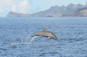 ジャンプするハシナガイルカの写真素材 [FYI00257465]