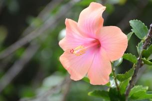 ピンクのハイビスカスの写真素材 [FYI00257478]
