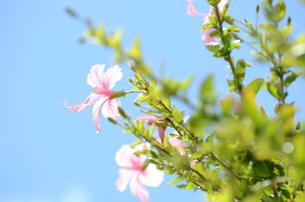 青い空とピンクのハイビスカスの写真素材 [FYI00257500]