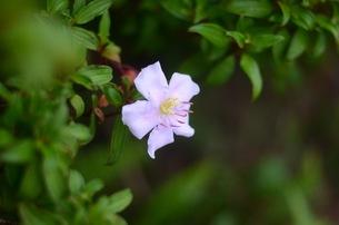 母島野牡丹の写真素材 [FYI00257502]