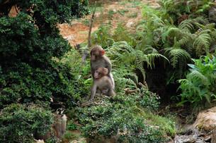 子連れの猿の写真素材 [FYI00257710]