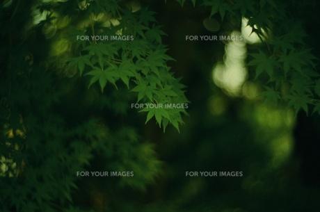 Green Leafの写真素材 [FYI00257759]