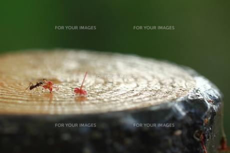 蟻の写真素材 [FYI00258153]