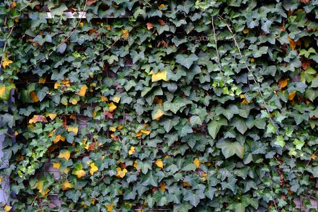 蔦の葉で覆われたビルの壁の写真素材 [FYI00258175]