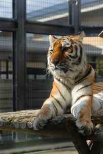 動物園の檻の中での精悍な顔つきの虎の写真素材 [FYI00258209]