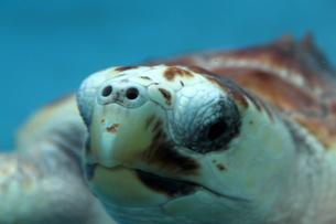 ウミガメの写真素材 [FYI00259454]