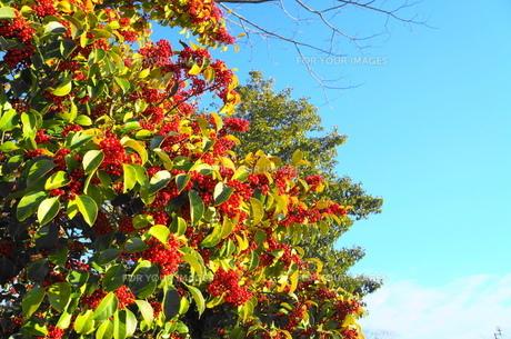 赤い木の実の素材 [FYI00259543]