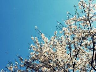 桜の写真素材 [FYI00259551]