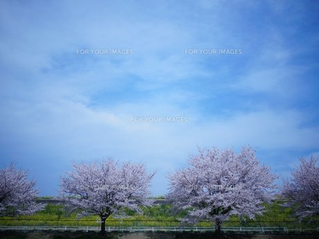 桜の写真素材 [FYI00259559]