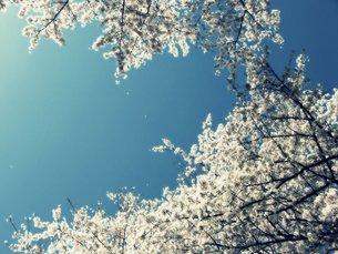 桜の写真素材 [FYI00259561]