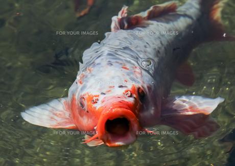 鯉の素材 [FYI00259683]