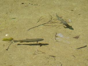 明神池の岩魚の写真素材 [FYI00259702]