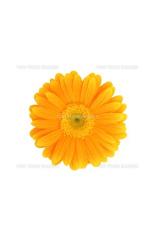 白抜きのオレンジ色のガーベラの素材 [FYI00259727]