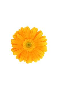 白抜きのオレンジ色のガーベラの写真素材 [FYI00259727]