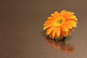 一輪のミニガーベラの写真素材 [FYI00259734]