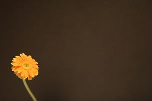 黒い背景とオレンジ色のミニガーベラの写真素材 [FYI00259739]