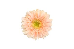 白抜きのピンク色のガーベラの写真素材 [FYI00259746]