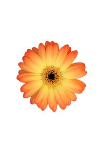 白抜きのピンク系のガーベラの写真素材 [FYI00259747]