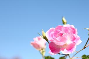 ピンク色のバラの写真素材 [FYI00259762]