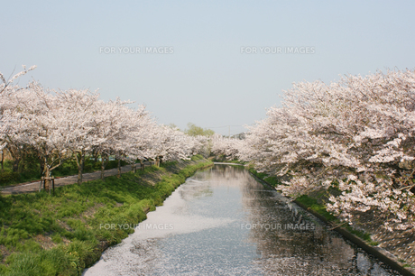 海老川ジョギングロードの桜並木の写真素材 [FYI00259777]