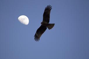 月と鳥の写真素材 [FYI00259809]