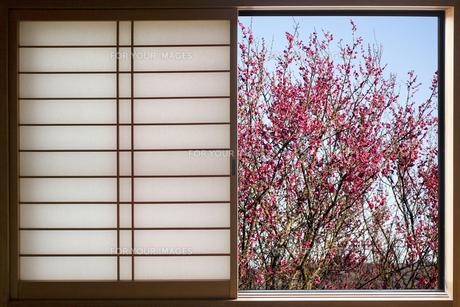 窓の紅梅の写真素材 [FYI00259811]