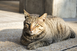野良猫の写真素材 [FYI00259862]