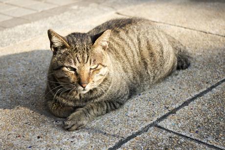 日向の猫の素材 [FYI00259870]