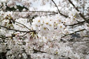 桜の素材 [FYI00259889]