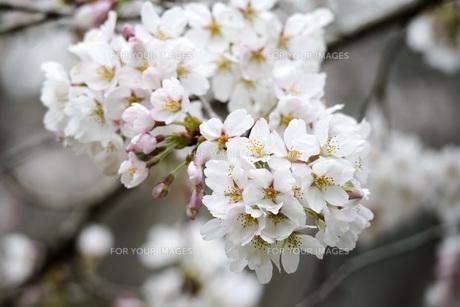 桜の素材 [FYI00259890]