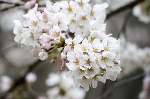 桜の写真素材 [FYI00259890]