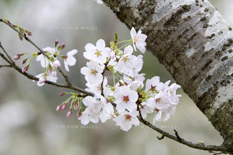 桜の素材 [FYI00259893]