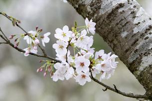 桜の写真素材 [FYI00259893]