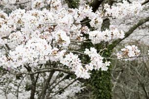 桜の素材 [FYI00259894]
