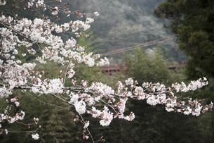 桜の素材 [FYI00259895]