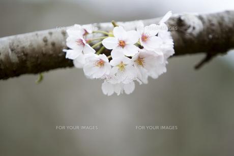 古木の桜の素材 [FYI00259898]