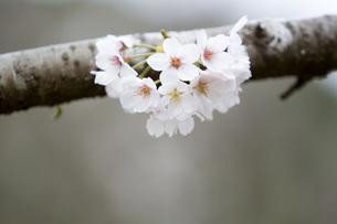 古木の桜の写真素材 [FYI00259898]