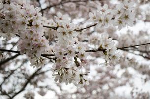 桜の素材 [FYI00259900]