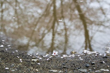 桜の水面の素材 [FYI00259901]