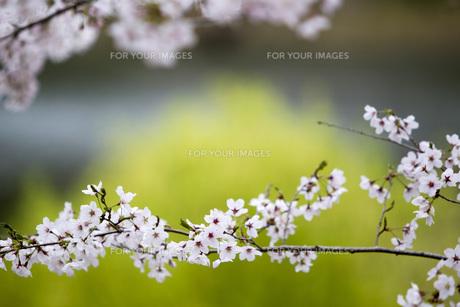 桜の背景、素材の素材 [FYI00259903]