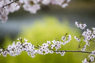 桜の背景、素材の写真素材 [FYI00259903]
