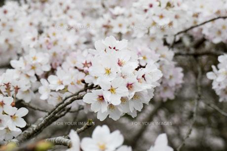 桜の素材 [FYI00259905]